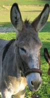 mulo: incrocio tra asino e cavallo